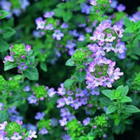 Thyme: Main Image