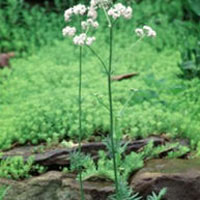 Valeriana: Main Image
