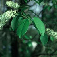Wild Cherry: Main Image