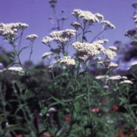 Yarrow: Main Image