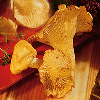 Chanterelle Mushrooms: Main Image