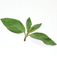 Mint: Main Image