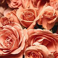 Rose Petals: Main Image