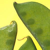 Snow Peas: Main Image