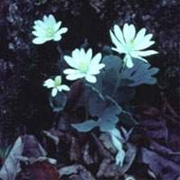 Bloodroot: Main Image