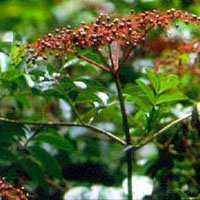 Elderberry: Main Image
