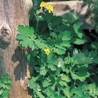 Greater Celandine: Main Image