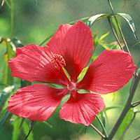 Hibiscus: Main Image