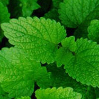 Lemon Balm: Main Image