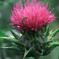 Milk Thistle: Main Image