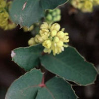 Oregon Grape: Main Image