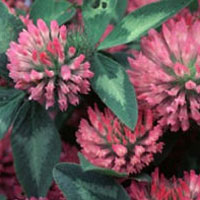 Red Clover: Main Image