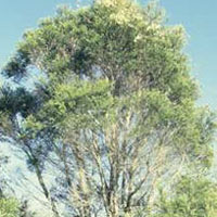 Tea Tree: Main Image