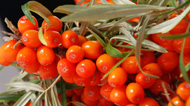 Sea Buckthorn: Main Image